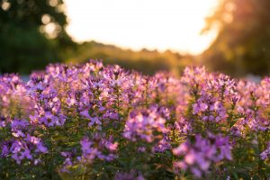 flowers in the sunset